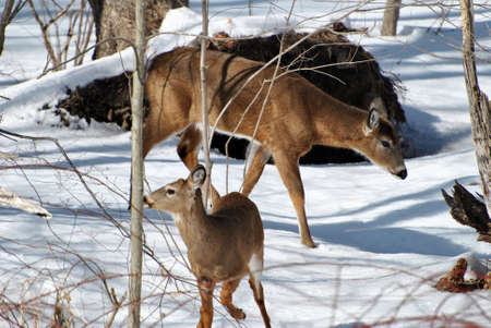 Doe and Fawn in the Snow photo