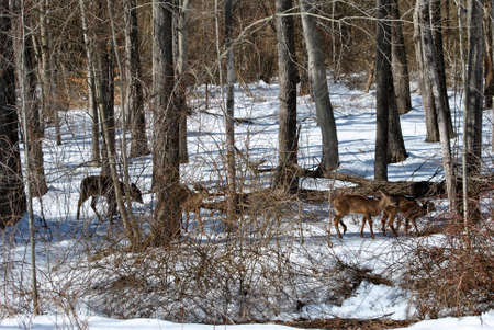 Four Deer Feeding in the Woods During Winter photo