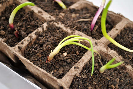 Close-Up of Red Onion Sprouts Growing Reklamní fotografie