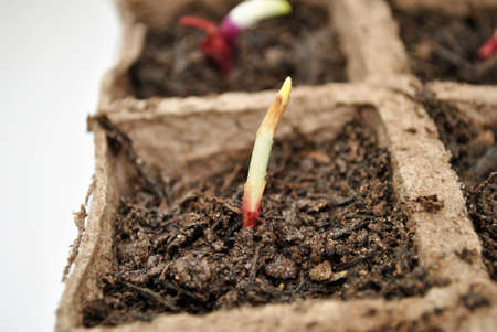 Close-Up of a Red Onion Sprout Reklamní fotografie