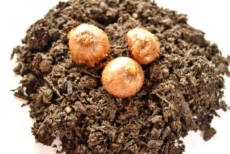 Pile of Soil with Three Flower Bulbs on Top