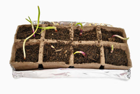 peat pot: Red Onion Sprout en una turba Pot