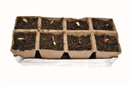 Red Onions Sprouting in Peat Pots Reklamní fotografie