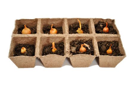 Yellow Onion Bulbs in Peat Pots Reklamní fotografie