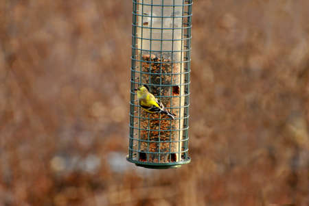 natureal: American Gold Finch Feeding in Early Spring