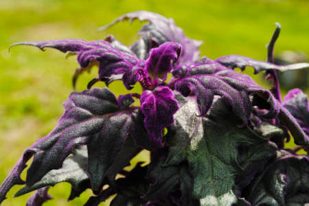 velvety: Growing a Velvety Purple Passion Plant in the Summer Sunshine