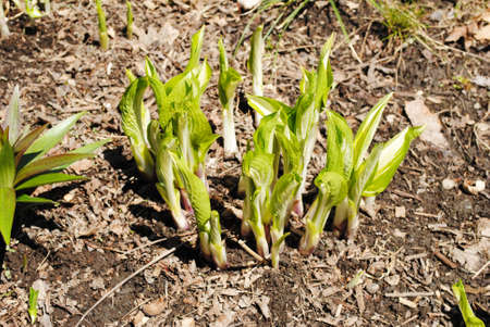 Hosta Emerging in Early Spring photo