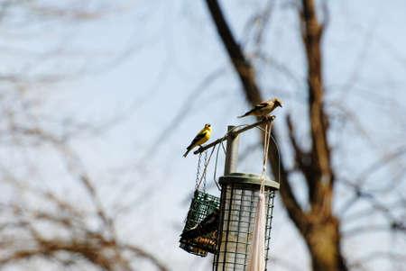 natureal: Male & Female American Gold Finches su una mangiatoia per uccelli