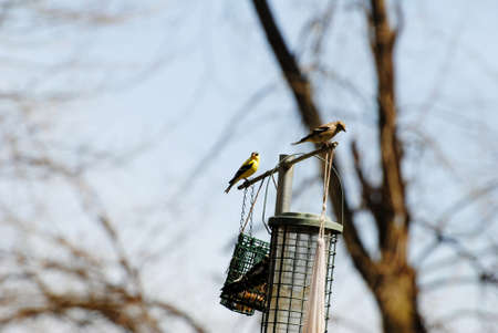 Male & Female American Gold Finches on a Bird Feeder