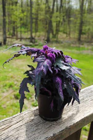 Purple Passion Plant in the Summer Sunshine Reklamní fotografie