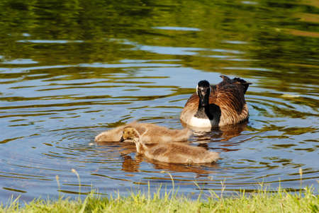 A Family of Canadian Geese Feeding in a Pond photo