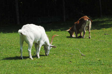 profiled: A Brown and a White Goat Grazing in a Grassy Field