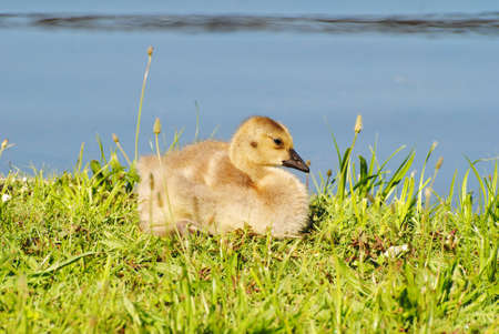 Baby Canadian Goose Laying in the Summer Sunhine photo