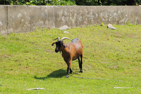billygoat: Brown Goat in a Farm Field During the Summer