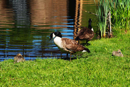 Canadian Geese Preening at the Edge of a Pond photo
