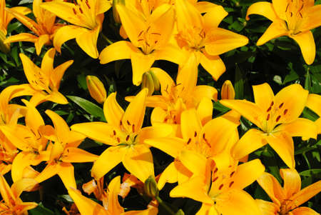 Summer Background of Bright Yellow Lilies photo