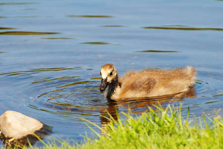 Swimming Canadian Gosling in a Pond photo