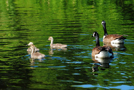 Young Canadian Geese Swimming with Their Parents photo