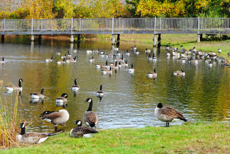 preens: Many Canadian Geese in a Pond During Autumn