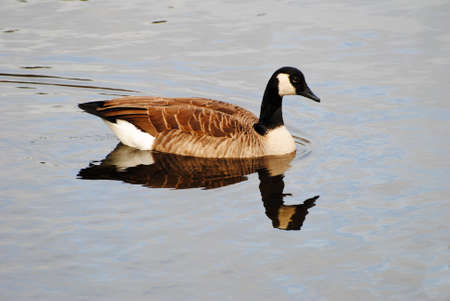 preens: Perfect Canadian Goose Swimming with a Reflection in the Water