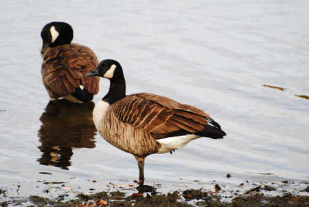 preens: Two Canadian Geeseon the Rocky Shore Line Stock Photo