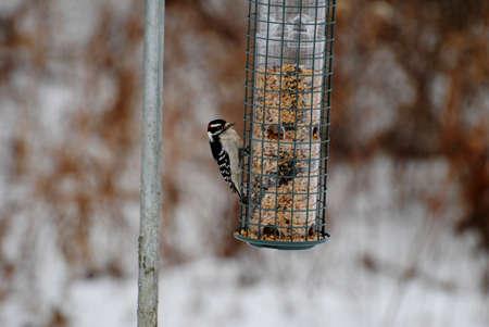 pecker: Tiny Woodpecker Feeding with a Wintery Background