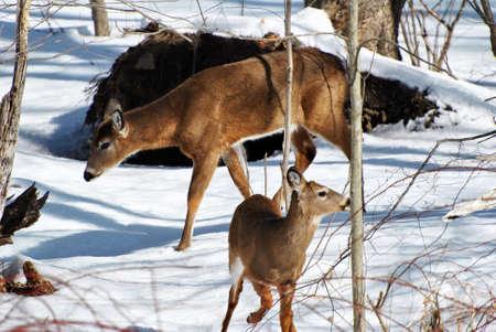 foe: Mama Deer with a Foe in Med-Winter