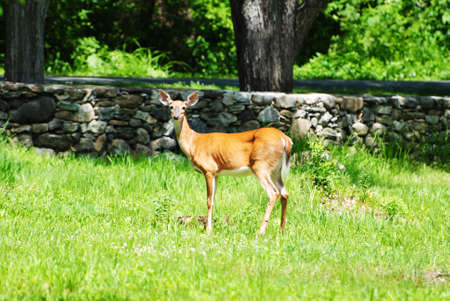 white tail deer: A White Tail Deer in the Wild Stock Photo