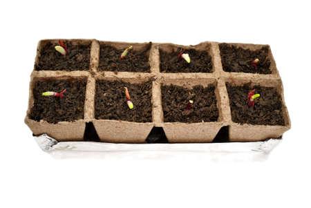 turba: Las cebollas rojas del brote en macetas de turba