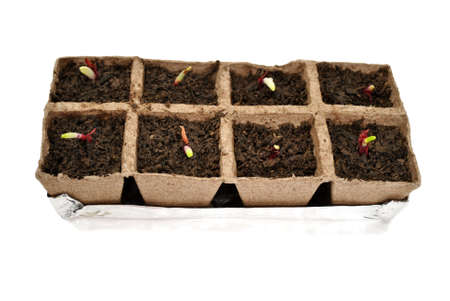 sprouting: Red Onions Sprouting in Peat Pots Stock Photo