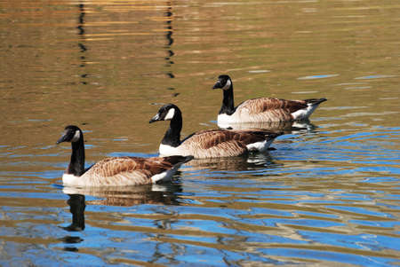 canadian geese: Three Canadian Geese Swimming in a Pond