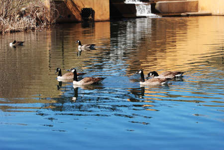 canadian geese: Canadian Geese Swimming in a Damn