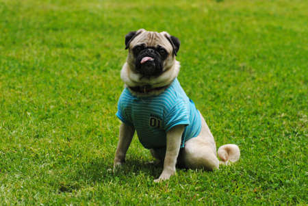 well behaved: Cute Pug Sitting in Bright Green Grass Stock Photo