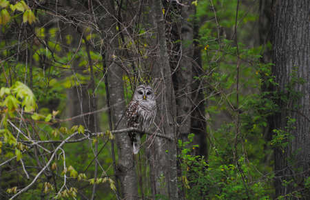 barred: Large Wild Barred Owl Sitting on a Tree Branch in the Woods