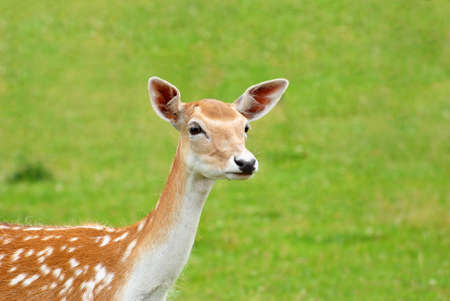 Close Up of a Silka Deer with a Grassy Background