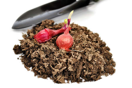 sprouted: Red Onion Bulbs on Garden Soil  with a Spade Shovel