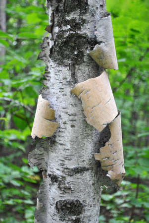 pealing: Close Up of a Pealing White Birch Tree Deep in the Woods Stock Photo