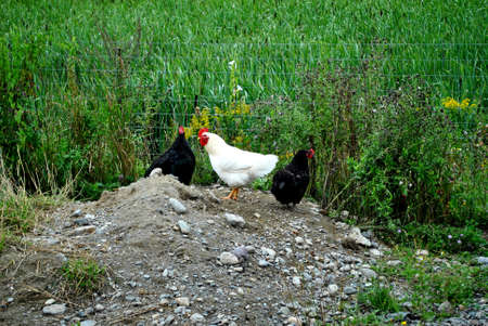 penned: Two Black and One White Chicken in a Cage