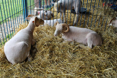 ewes: White Sheep in a Barn