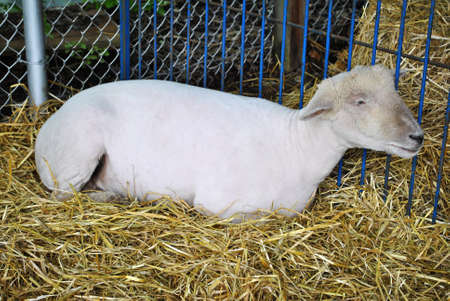 Small Shaved White Sheep Laying in a Hay Bed