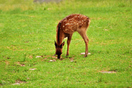 Baby Fawn Feeding on Grass with Mother in the Background
