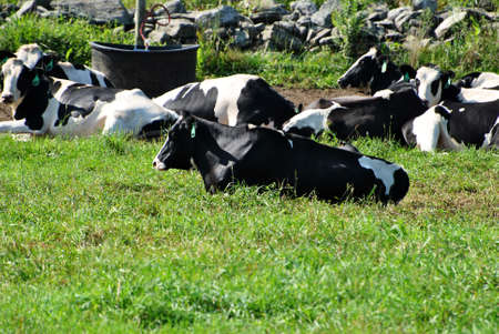 Country Cows Laying in a Grassy Pasture Stock Photo