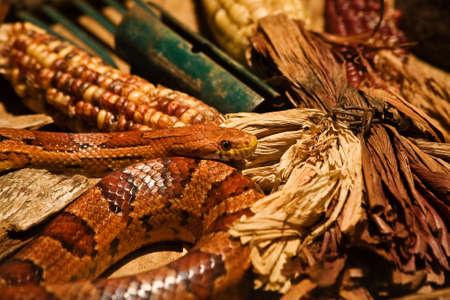 Corn Snake with Decorative Corn
