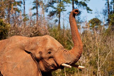 Big Elephant Raising His Trunk