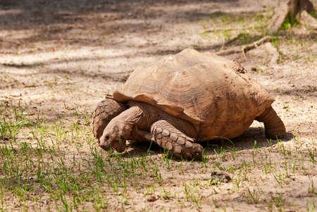 Large Tortoise Eating