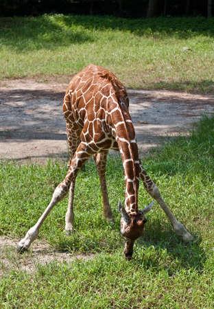 Young Giraffe bending down to get food. Stock Photo - 7575920
