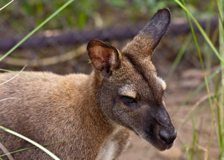 Red Australian Kangaroo with large ears posing for a portrait.
