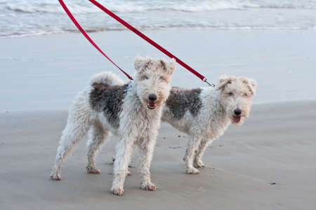Two dogs stopped to pose for a photo while being walked on the beach with red collars and leashes. photo
