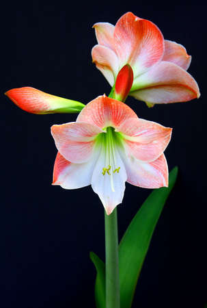 Amaryllis in bloom on a dark background in pink and coral. photo