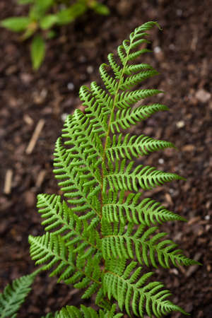 Bright Green Fern growing in the garden bed